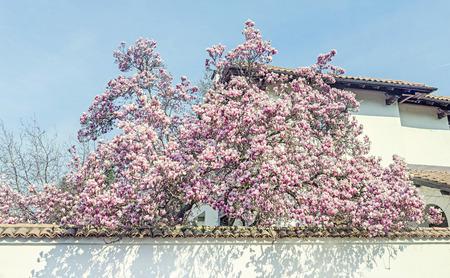 Magnolia tree pink purple flowers blue sky outdoor spring magnolia tree pink purple flowers blue sky outdoor spring time stock mightylinksfo