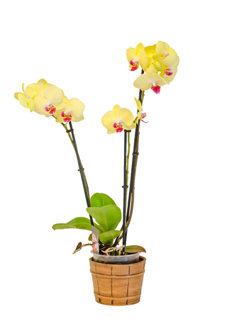 phal: Yellow branch orchid  flowers with green leaves, white vase, Orchidaceae, Phalaenopsis known as the Moth Orchid, abbreviated Phal. White background
