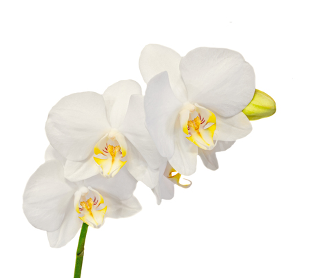 orchidaceae: White branch orchid flowers with buds, Orchidaceae, Phalaenopsis