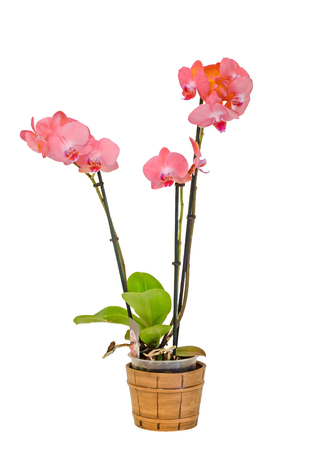 phal: Pink branch orchid  flowers with green leaves, white vase, Orchidaceae, Phalaenopsis known as the Moth Orchid, abbreviated Phal. White background Stock Photo