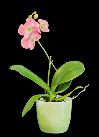 Pink branch orchid flowers with buds, Orchidaceae, Phalaenopsis Stock Photo