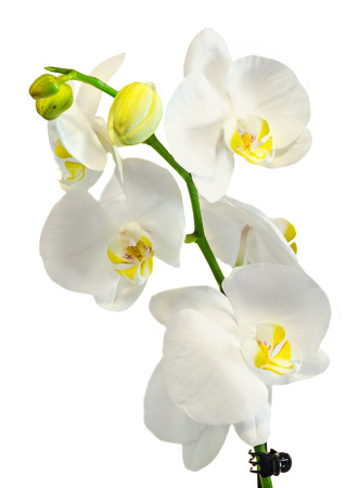 phal: White branch orchid  flowers, Orchidaceae, Phalaenopsis known as the Moth Orchid, abbreviated Phal. White background.