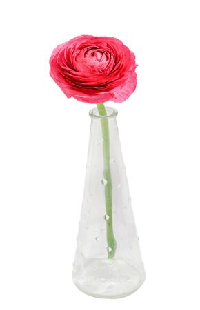 Red Ranunculus flower, Ranunculaceae family. Genus include the buttercups, spearworts, and water crowfoots. Close up, isolated, white background.