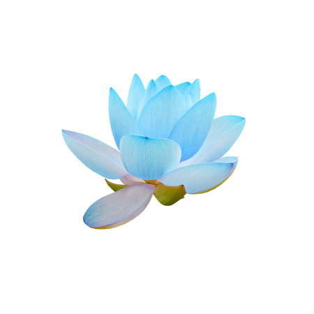 nelumbo nucifera: Blue nuphar flowers, water-lily, pond-lily, spatterdock, Nelumbo nucifera, also known as Indian lotus, sacred lotus, bean of India, lotus, white background.