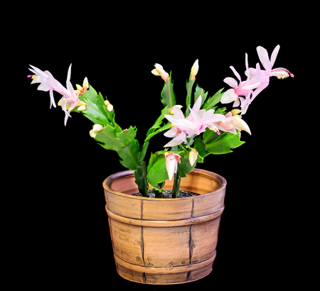 christmas cactus: Pink, white Schlumbergera, Christmas cactus or Thanksgiving cactus flowers, in a brown flower pot, close up, dark black background. Stock Photo