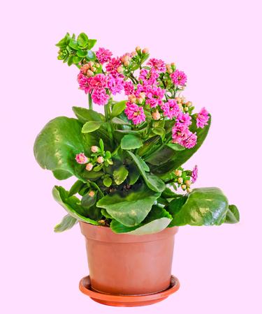 Pink Calandiva flowers, Kalanchoe, family Crassulaceae, close up, bokeh background.