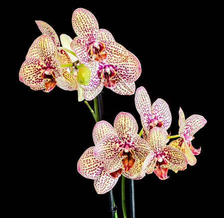 Colored purple branch orchid flowers with buds, Orchidaceae, Phalaenopsis known as the Moth Orchid, abbreviated Phal. Stock Photo