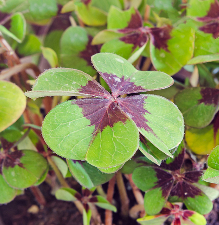 Green Oxalis, purple spots, many of the species are known as wood sorrels, clover four leaves, close up. Brings luck, used as lucky charm.