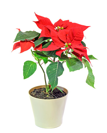 The poinsettia (Euphorbia pulcherrima) with red and green foliage, Christmas floral in a white vase. White background.