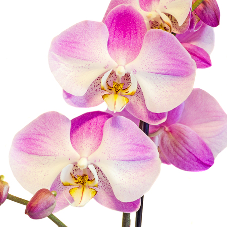 phal: Pink branch orchid  flowers, Orchidaceae, Phalaenopsis known as the Moth Orchid, abbreviated Phal. White background.