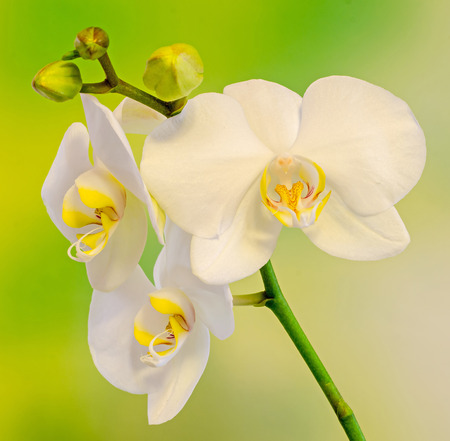 phal: White branch orchid flowers with buds, Orchidaceae, Phalaenopsis