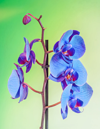 phal: Blue branch orchid  flowers, Orchidaceae, Phalaenopsis known as the Moth Orchid, abbreviated Phal. Brown vase. Gradient, bokeh background. Stock Photo