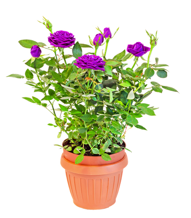 Violet roses flower bush with buds in a brown vase, flowerpot,  green leaves, close up, white background.