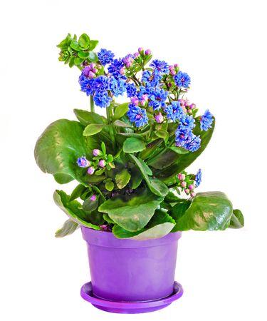 Blue Calandiva flowers, Kalanchoe, family Crassulaceae, close up, bokeh background.