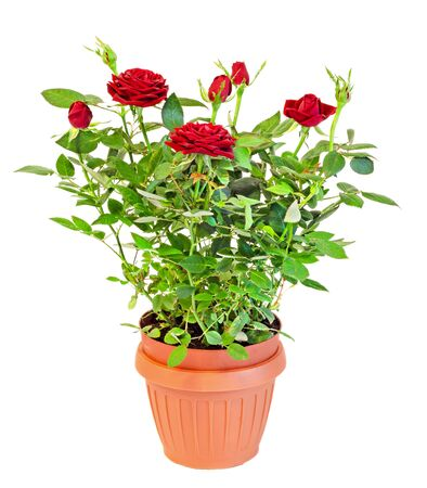 Dark red roses flower bush with buds in a brown vase, flowerpot,  green leaves, close up, white background. Stock Photo