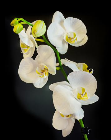 White branch orchid  flowers, Orchidaceae, Phalaenopsis known as the Moth Orchid, abbreviated Phal. Black background.