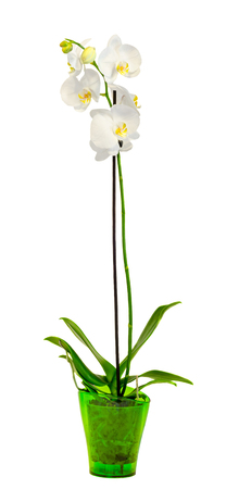 phal: White branch orchid  flowers in a green vase, Orchidaceae, Phalaenopsis known as the Moth Orchid, abbreviated Phal. White background. Stock Photo