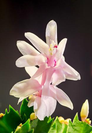 christmas cactus: Pink, white Schlumbergera, Christmas cactus or Thanksgiving cactus flowers, close up, dark black background.