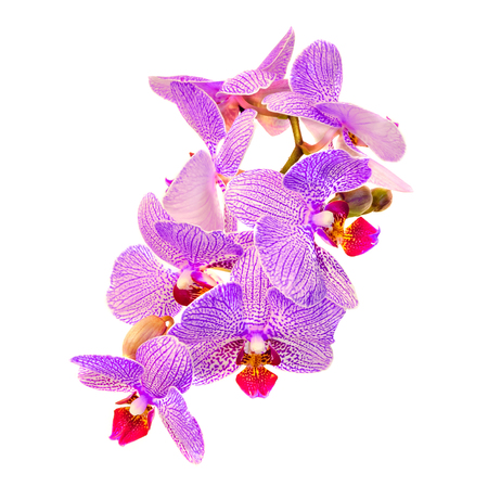 Pink branch orchid flowers with buds orchidaceae phalaenopsis pink branch orchid flowers with buds orchidaceae phalaenopsis stock photo 71730981 mightylinksfo