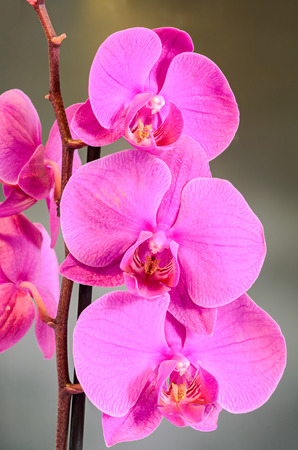 Purple branch orchid  flowers, Orchidaceae, Phalaenopsis known as the Moth Orchid, abbreviated Phal. Brown vase. Gradient, bokeh background.