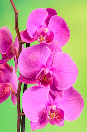 Pink branch orchid  flowers, Orchidaceae, Phalaenopsis known as the Moth Orchid, abbreviated Phal. Brown vase. Gradient, bokeh background. Stock Photo