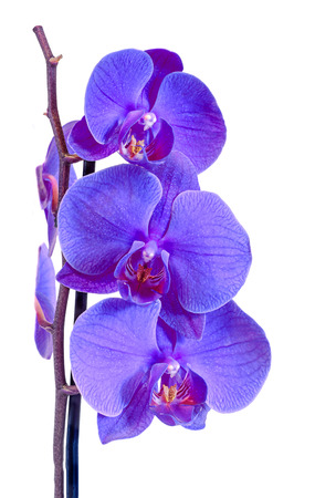 phal: Mauve branch orchid  flowers, Orchidaceae, Phalaenopsis known as the Moth Orchid, abbreviated Phal. Brown vase. Isolated on white background. Stock Photo