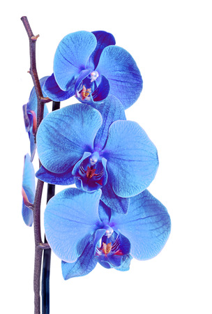 Blue branch orchid  flowers, Orchidaceae, Phalaenopsis known as the Moth Orchid, abbreviated Phal. Brown vase. Isolated on white background.