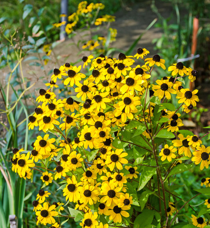 three leaved: Rudbeckia triloba yellow flowers (browneyed Susan, brown-eyed Susan, thin-leaved coneflower, three-leaved coneflower)
