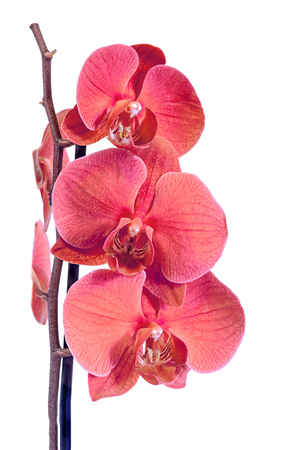 phal: Red branch orchid  flowers, Orchidaceae, Phalaenopsis known as the Moth Orchid, abbreviated Phal. Brown vase. Isolated on white background.