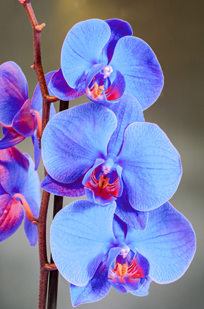 Blue branch orchid  flowers, Orchidaceae, Phalaenopsis known as the Moth Orchid, abbreviated Phal. Brown vase. Gradient, bokeh background. Stock Photo