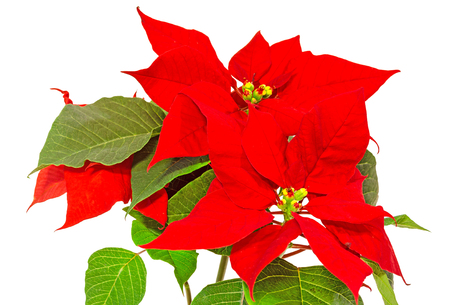 The poinsettia (Euphorbia pulcherrima) with red and green foliage, Christmas floral. White background. Stock Photo