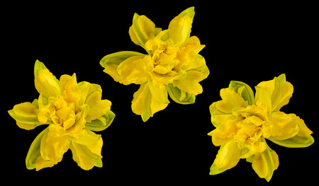 Yellow daffodil (narcissus) flower, close up, black background. Stock Photo