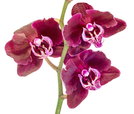 Purple brown branch orchid  flowers, Orchidaceae, Phalaenopsis known as the Moth Orchid, abbreviated Phal. White background.