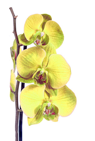 phal: Yellow branch orchid  flowers, Orchidaceae, Phalaenopsis known as the Moth Orchid, abbreviated Phal. Brown vase. Isolated on white background. Stock Photo