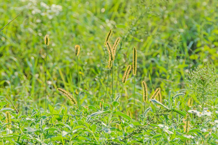 Wild wheat, green field with wild flowers, outdoor, close up