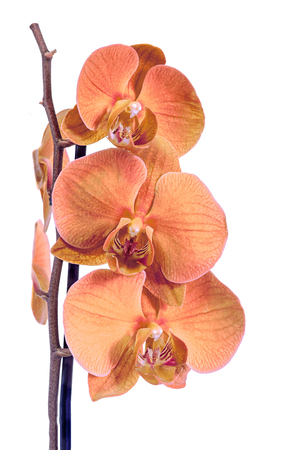 phal: Orange branch orchid  flowers, Orchidaceae, Phalaenopsis known as the Moth Orchid, abbreviated Phal. Brown vase. Isolated on white background. Stock Photo