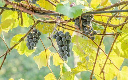 Dark Red Purple Grapes Fruit Hang Vitis Vinifera Grape Vine Green Leaves