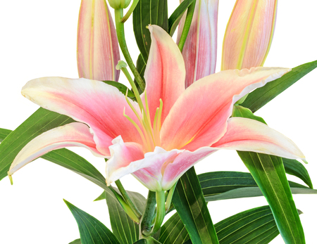 White and pink Lilium flowers, (Lily, lillies) bouquet, floral arrangement, close up, isolated, white background