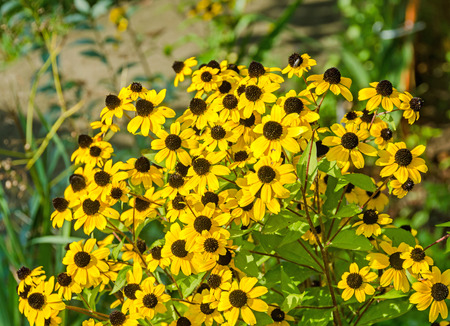 Rudbeckia triloba yellow flowers (browneyed Susan, brown-eyed Susan, thin-leaved coneflower, three-leaved coneflower)