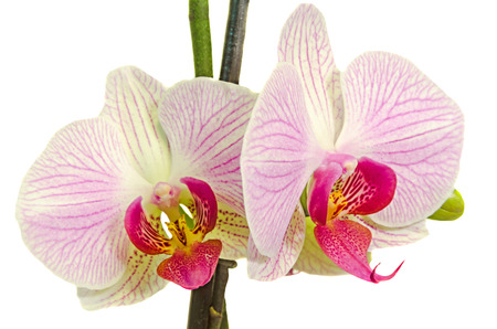 phal: Pink branch orchid  flowers with green leaves, Orchidaceae, Phalaenopsis known as the Moth Orchid, abbreviated Phal.