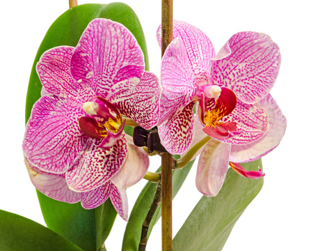 Pink branch orchid  flowers with green leaves, Orchidaceae, Phalaenopsis known as the Moth Orchid, abbreviated Phal.