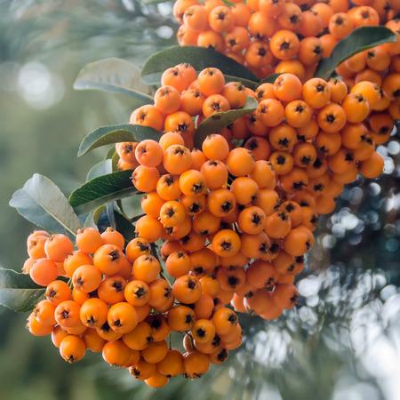 Ilex verticillata, the winterberry, also known as Black Alder Winterberry, Canada holly , Coralberry, Fever bush, Inkberry, Possumhaw, Swamp Holly, Virginian Winterberry, or Winterberry Holly