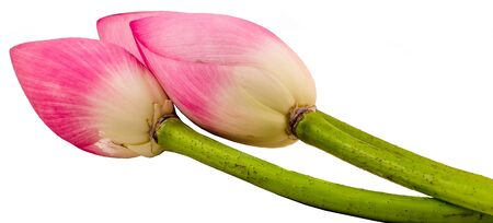 Pink lotus flowers, water lily bud, close up, isolated