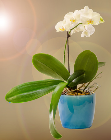 phal: White branch orchid  flowers in blue flowerpot, Orchidaceae, Phalaenopsis known as the Moth Orchid, abbreviated Phal.