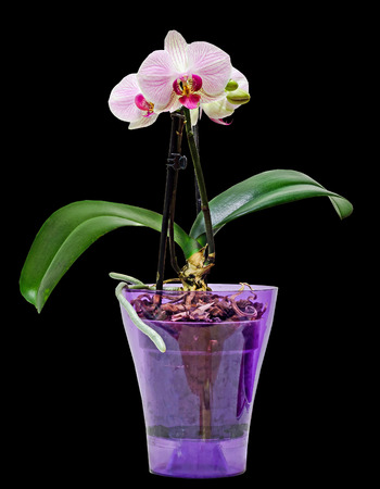 Pink branch orchid  flowers in transparent vase, Orchidaceae, Phalaenopsis known as the Moth Orchid, black background