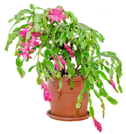 christmas cactus: Red Schlumbergera flower, close up, isolated. Known by a variety of names including Christmas Cactus, Thanksgiving Cactus, Crab Cactus and Holiday Cactus.