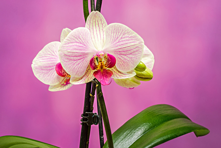 Pink branch orchid  flowers with green leaves, Orchidaceae, Phalaenopsis known as the Moth Orchid, abbreviated Phal. Mauve degrade background.