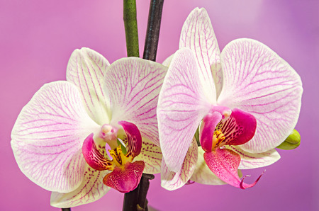 phal: Pink branch orchid  flowers with green leaves, Orchidaceae, Phalaenopsis known as the Moth Orchid, abbreviated Phal. Mauve degrade background.