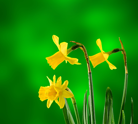Yellow daffodils (narcissus) flowers, close up, bokeh background. Stock Photo