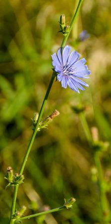 comuna: Cichorium intybus blue flower, close up, in Romania known as Cicoarea comuna